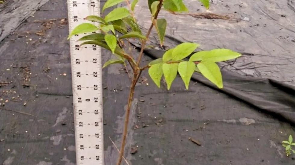Small Camu Camu Plant