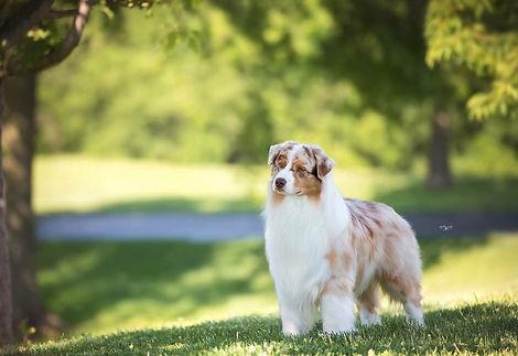 chiens-Berger-Australien-29e86d96-6658-8