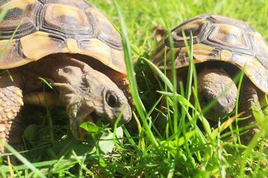 Hermann Tortoises