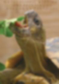 Naturalistic Keeping and breeding of hermann tortoises