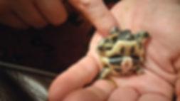 Hermann Tortoise Hatchling