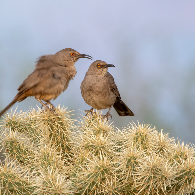 Curve-Billed Thrasher Pair