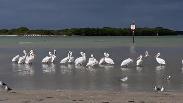 Shell Key Shorebirds St Pete