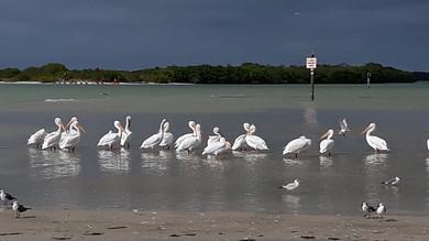 Shell-Key-Shorebirds-St-Pete