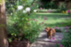 Lawned garden with small brown dog walking on York stone stepping stones past white roses
