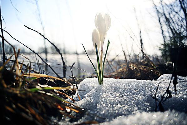 snowdrops first white crocus wild flower