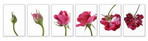 rose-dreamstime_s_15024989_row.jpg