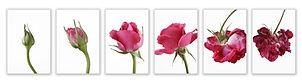 rose-dreamstime_s_15024989_row.jpg