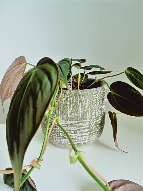 Philodendron Houseplant ONLY