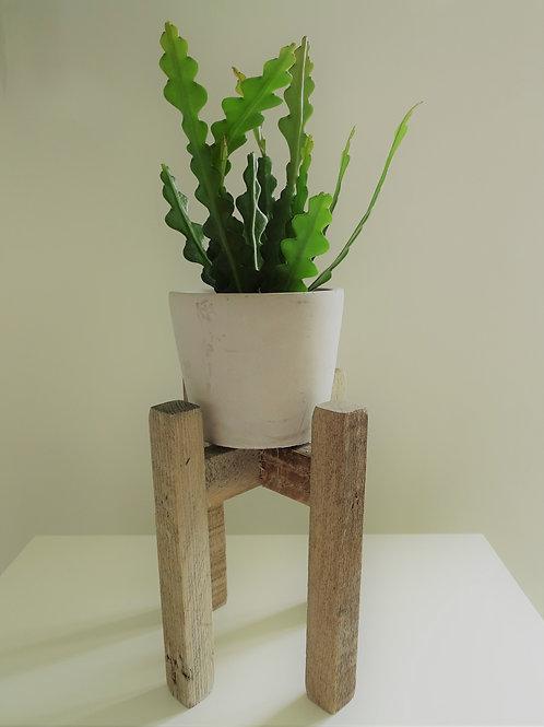 Epiphyllum anguliger Houseplant ONLY inc P&P