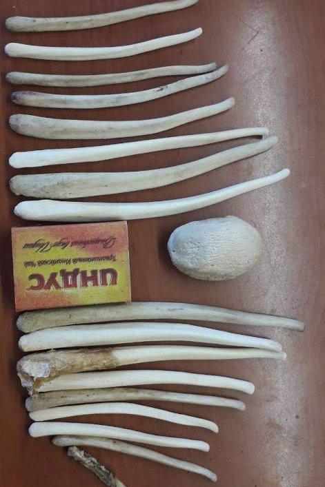 Phallus / Bear member / Bear genital bone / Bakulum