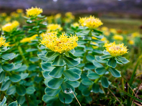 Golden root (Rhodiola rosea) 50g.