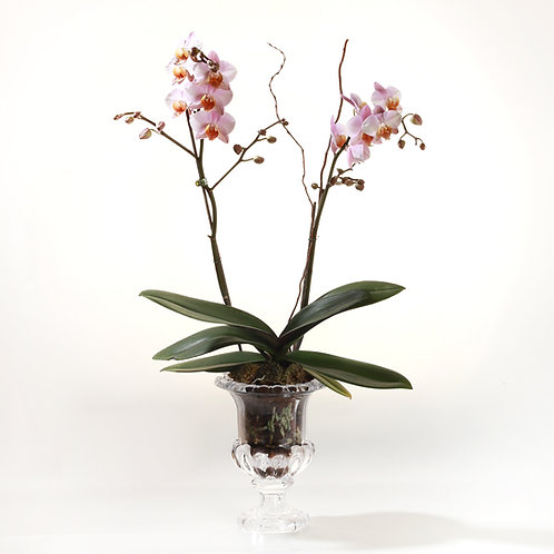 Orchid plant - סחלבים
