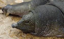 turtleinalexanderriver