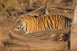 Riddhi Tiger