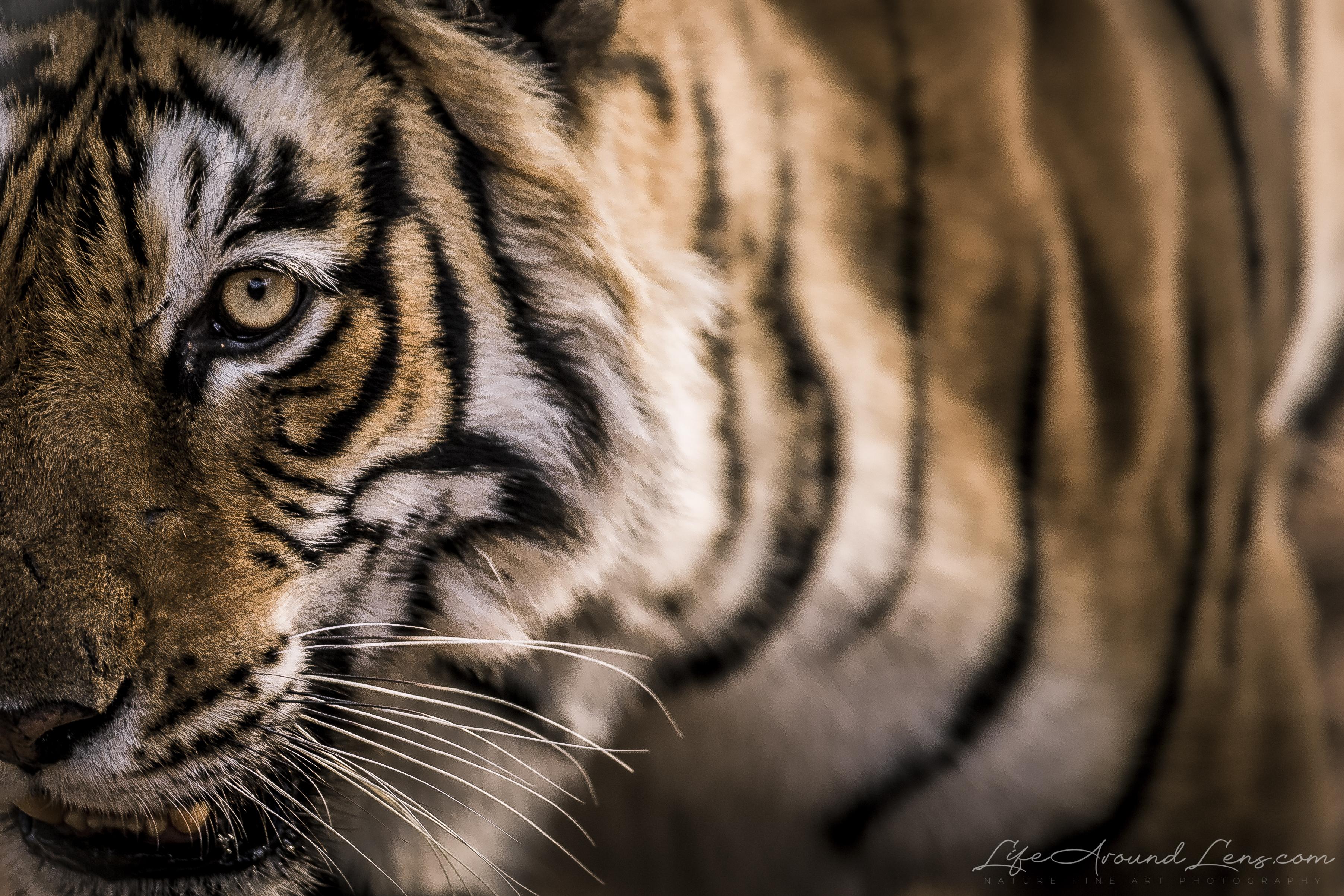 ArrowHead Tiger