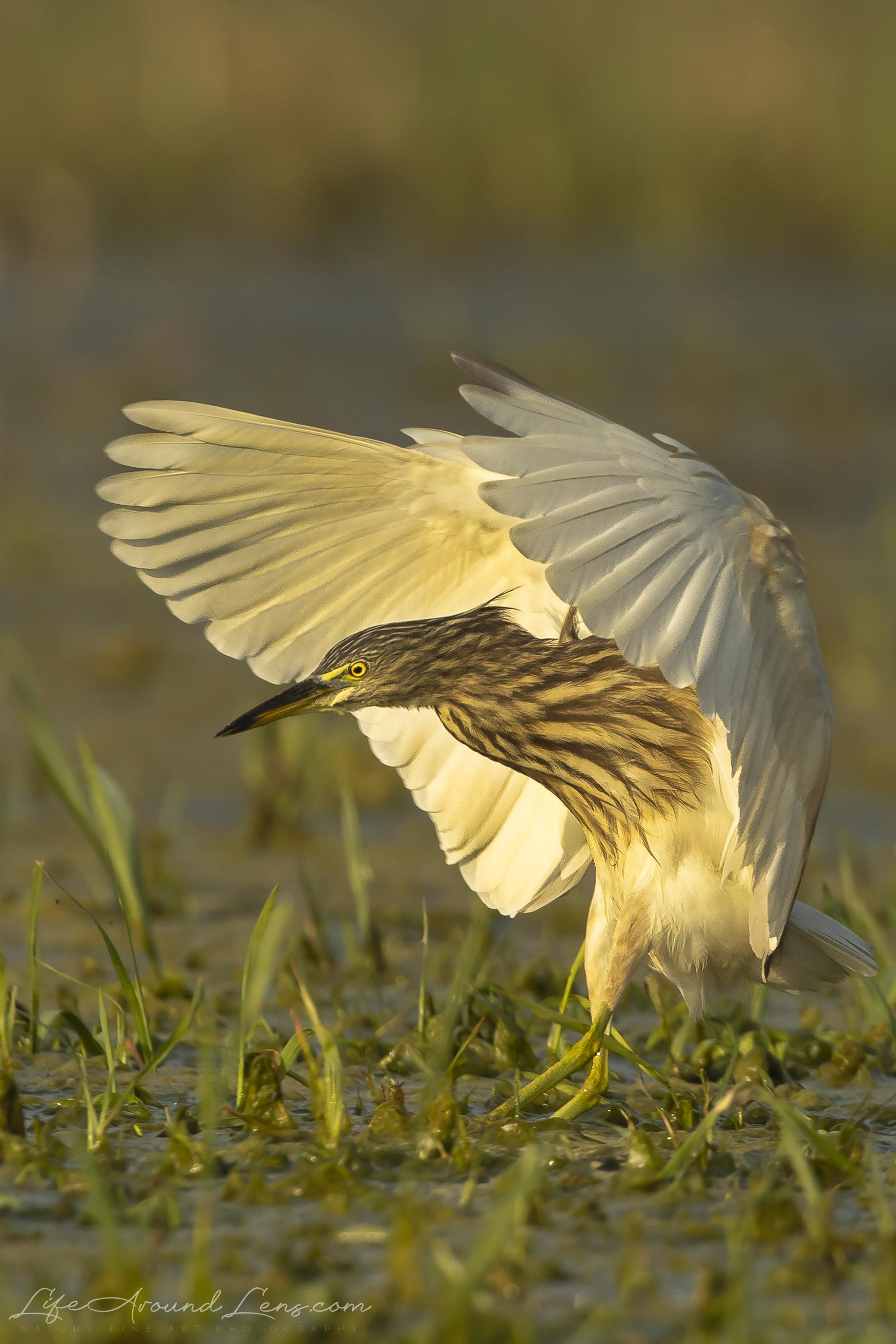 Pond Heron Fishing