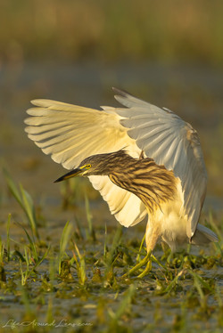 Pond Heron Fishing