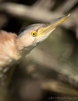Yellow Bittern Portrait