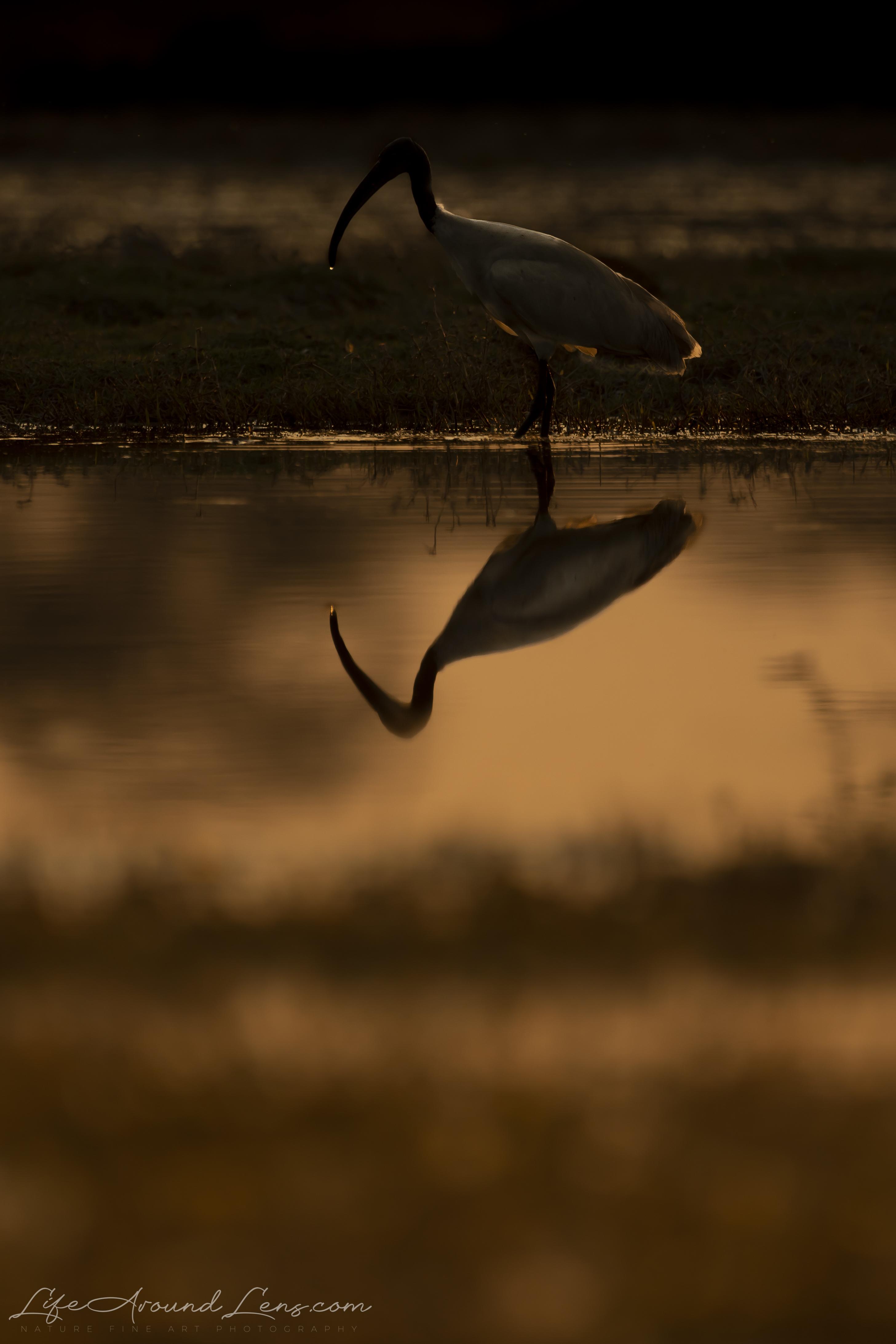 Black Headed Ibis Silhouette