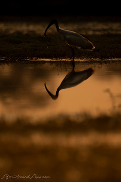 Black Headed Ibis Silhouette