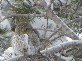 pygmy owl 1.JPG