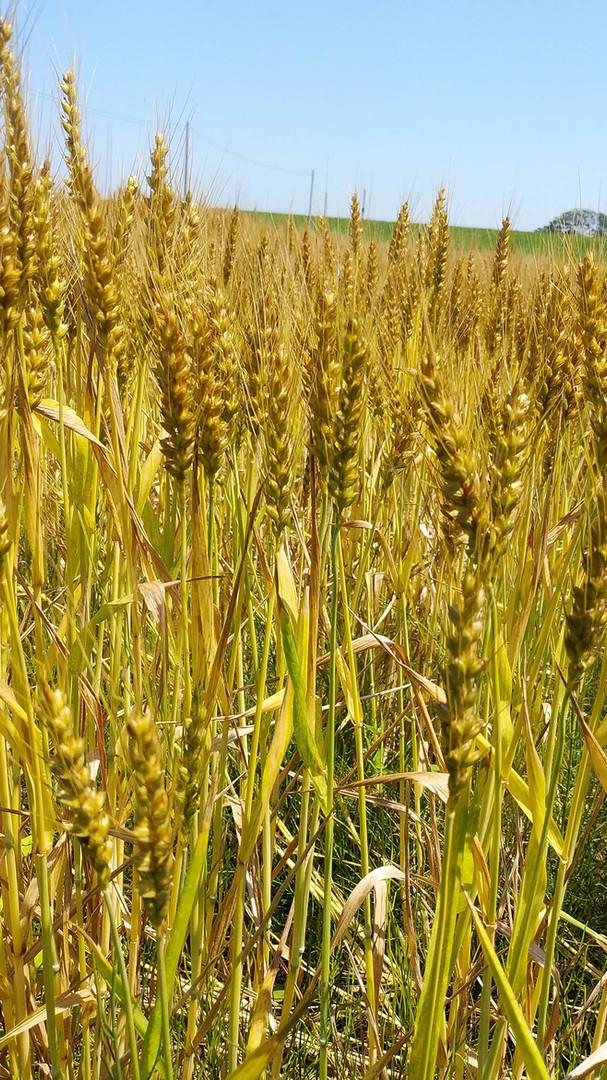 小麦2000.jpg
