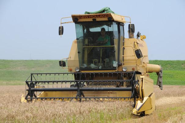 ★麦刈り-1.JPG