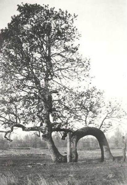 lover-s-oak-3.jpg