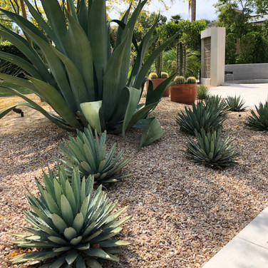 Agave Landscape Accents