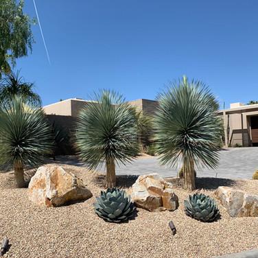 Mature Yucca