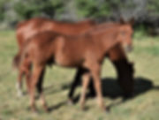 Lot 8 SC Little Lena  colt.jpg