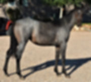 Lot 16 Blue Bonnet  filly  Consignment C
