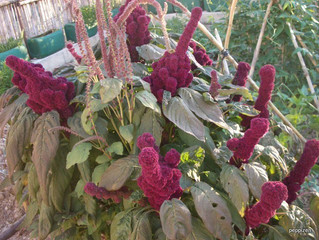 Sizzling mornings & Amaranth love
