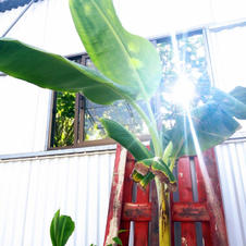 Our banana trees are loving it