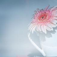 Pink Flower in White Mug