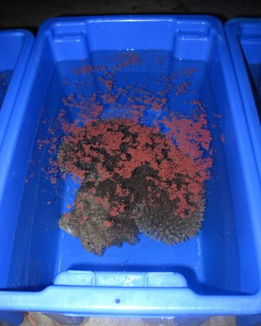Coral spawn (IMG_5117).jpg