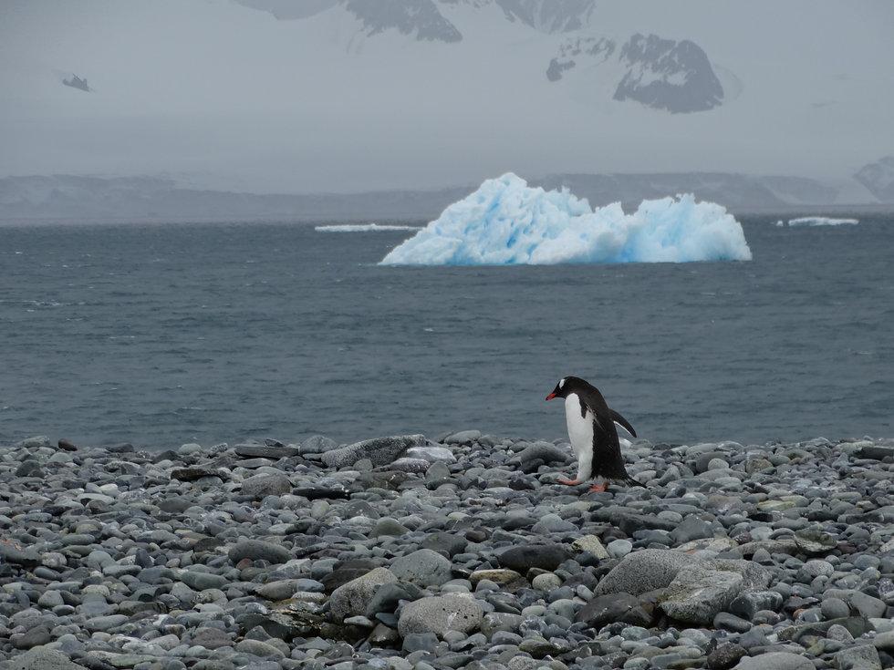 06- gentoo penguin yankee harbour.JPG