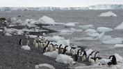 adelie penguins Brown Bluff -2.JPG