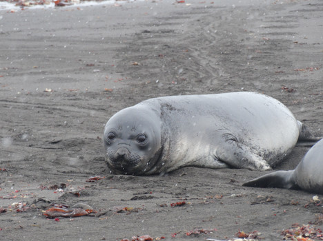 10- baby elephant seal livingstone islan