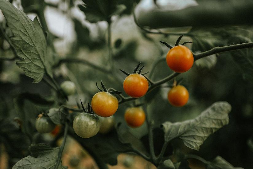 tomatoes_web.jpg