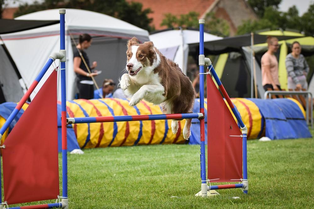 koira hyppää esteen yli