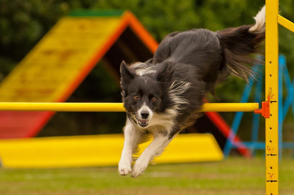 Agility koira hyppää esteen yli