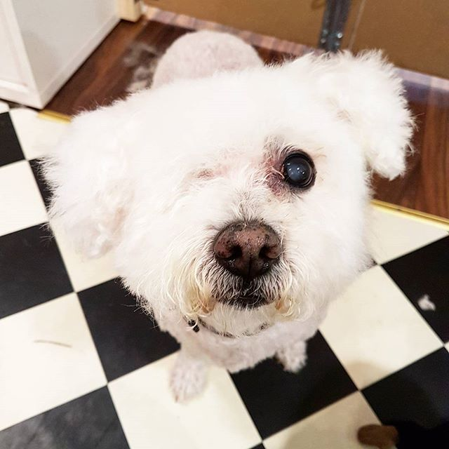 Hi cutie 😍 #bichonfrise #dogsofdublin #doggrooming #happyhound #instadog