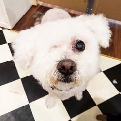 Hi cutie 😍 #bichonfrise #dogsofdublin #doggrooming #happyhound #instadog
