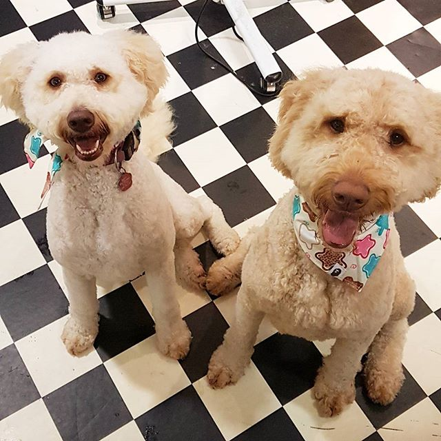 Double Trouble 🤗🤗 The beautiful duo that is Bruce and Sandy 😍 #labradoodle #dogsofdublin #doggroo