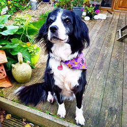 Misty absolutely loves her Halloween _woofstuff Bandana 😍 #woofstuff #halloween #bandana #dogacceso