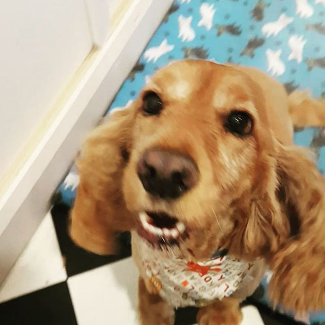 Ben didnt want to stay still for picture time so he gets a video 😂 #cockerspaniel #cockersofinstagr