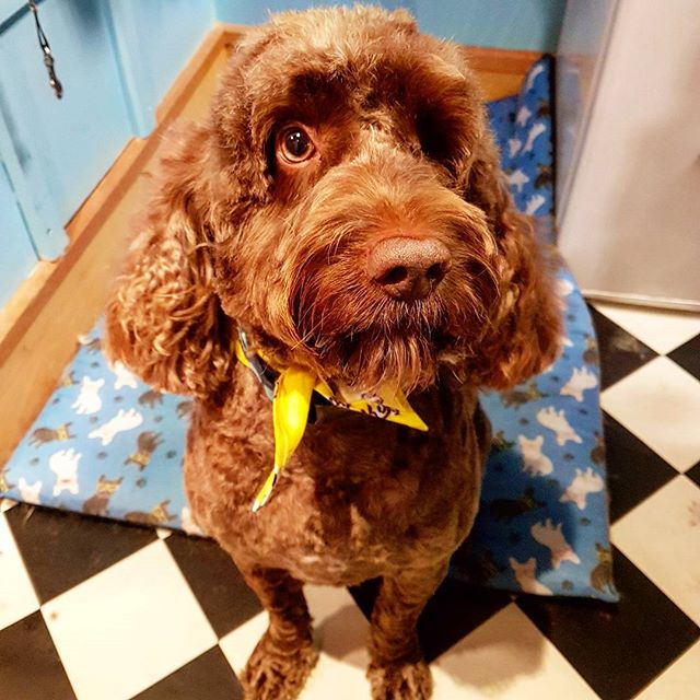 Beautiful Buster in for some pampering this morning 🐶 #cockapoo #dogsofdublin #doggrooming #groomin