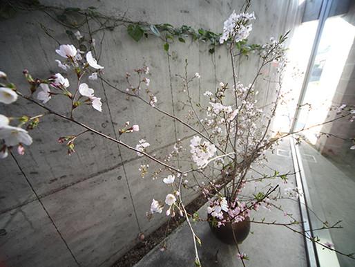コートの桜